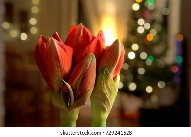 Amaryllis with blurred light background