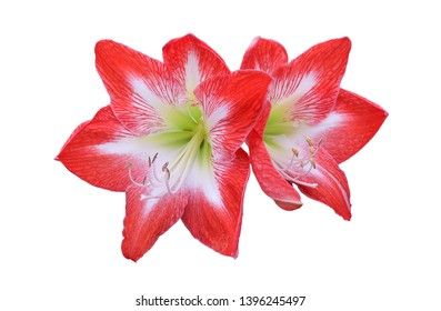 Amaryllis Bulb Minerva - Red Blooms with Blazing White Star,isolated with clipping path on white background