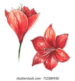 Amaryllis. Christmas red lily flowers isolated illustration