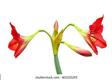 Amaryllis flower on white background