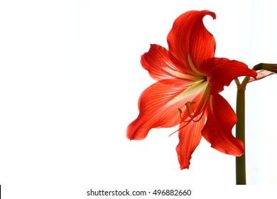 Amaryllis flower/ Amaryllis flower on a white background
