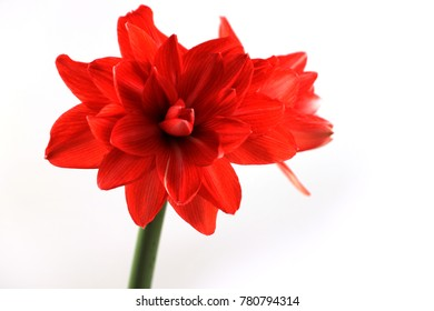 Amaryllis Flower on white, Hippeastrum (double circus)