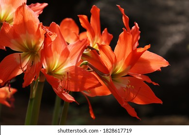 Amaryllis flower (amaryllis sp) is a popular ornamental plant today, this plant has various types and colors. Amaryllis is usually found in the garden or in a pot. For men, amaryllis means strong and