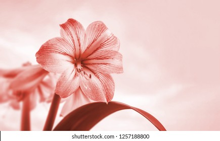 Amaryllis flowers. Amaryllis flowers against cloudy sky with copy space. Image in trendy living coral color