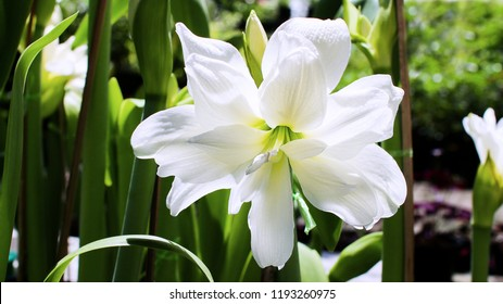 Amaryllis flowers,Amaryllis Mini White