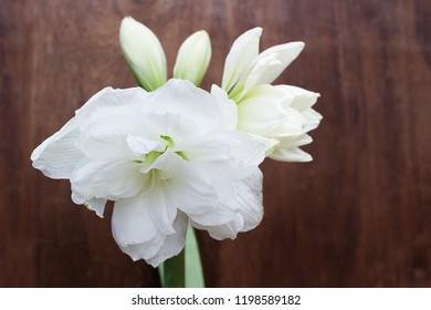 Amaryllis flowers,Amaryllis Mini White with wood background,Amaryllis flowers nice smell