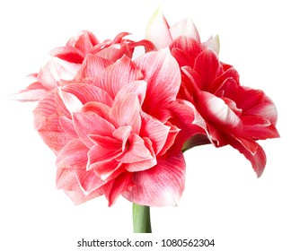 Amaryllis Hippeastrum large flowering Double Dream close up isolated on white background