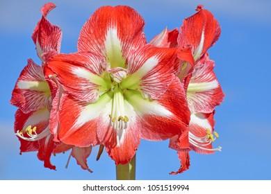 Amaryllis Hippeastrum red