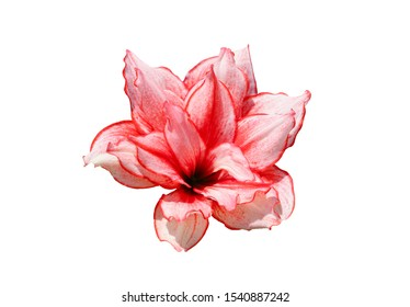 Amaryllis or Hippeastrums flowers,Isolated on White Background with clipping