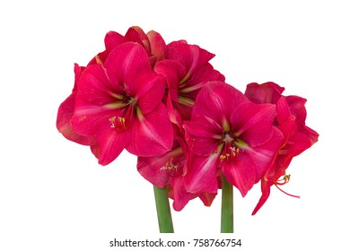 Amaryllis Isolated on White Background