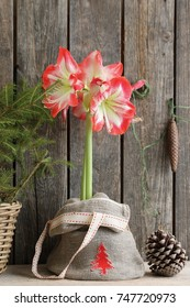 Amaryllis in jute bag with application Red Christmas Tree, vintage metal cone on dark aged wooden background, floral composition, arrangement, daylight