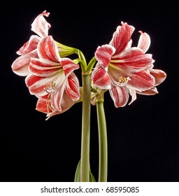 amaryllis - lilly on black background