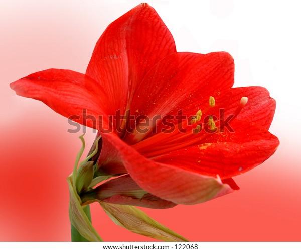 Amaryllis on Red