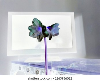 Amaryllis Plant - Inverse In Black And Purple - In Front Of TV Screen On Ornate Table