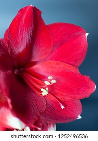 Amaryllis red,  flower
