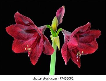 Amaryllis - Red Pearl (Hippeastrum) - Amaryllidaceae on black background