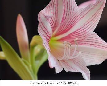 Amaryllis reticulatum or pink and white amaryllis variegata