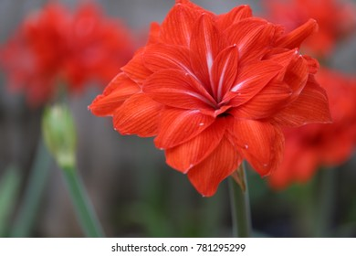 amaryllis(double circus) flowers, flower bulbs bloom in garden outdoor