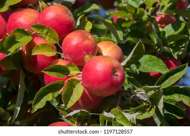 Amasya apples and apples