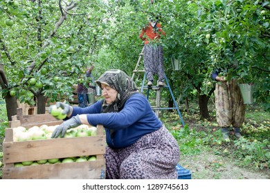 Amasya , Turkey-09/29/2015: Farmers collecting apples in apple orchard.