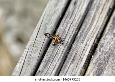 Amata perixanthia is a moth of the family Erebidae. It is found in Taiwan, Tibet and eastern China. The moth like a bee perches on the plank surface.