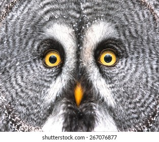 Amazed Great Grey Owl Hdr