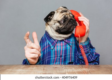 Amazed man with pug dog head in checkered shirt talking on telephone over grey background
