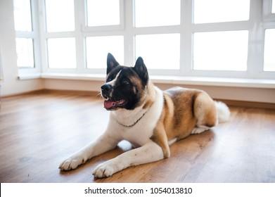 Amazing american akita dog posing. Old big akita boy.
