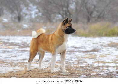 Amazing american akita posing in the winter.