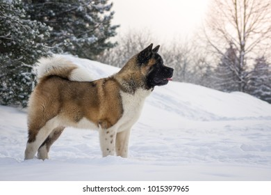 Amazing american akita puppy posing in the winter. 7 months old big akita boy.