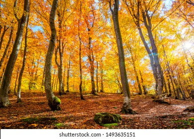 Amazing Autumn forest background with sun - autumnal landscape with bright yellow leaves and trees in wild forest