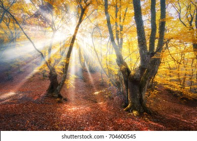 Amazing autumn forest in fog with bright sun rays at sunset. Beautiful trees with orange leaves and red foliage. Colorful landscape with enchanted foggy forest and golden sunlight. Fairy wood. Nature
