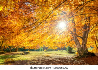 Amazing Autumn landscape - big forest golden tree with sunlight on sunny meadow, background