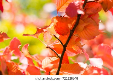 Amazing autumn leaves with bokeh and blurred colours in background. Perfect image for: autumnal colors with copy space, red leaf, yellow leaves, tree in september or october, etc.