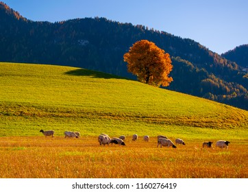 Amazing autumn rural landscape with sheeps and and lonely yellow tree on pasturage on foreground and mountain hills on background. Dolomite Alps, Italy