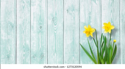 Amazing background with Yellow daffodils flowers on turquoise texture. Beautiful Greeting Card for Mother's Day, Easter, Women's day. Wide Angle Web banner With Copy Space for text
