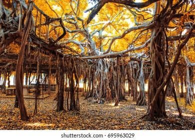 Amazing banyan tree at Sai Ngam Phimai District, Nakhon Ratchasima, Thailand