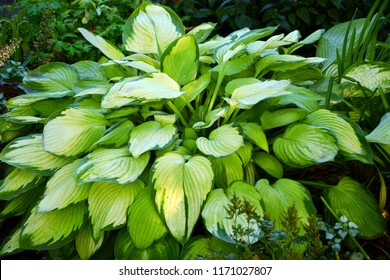 Amazing beauty hosta unusual colors, combined green white and yellow in the garden close-up.