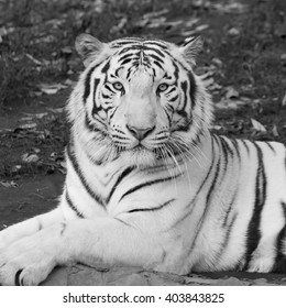 Amazing bengal tiger, wonderful animal, lying among fallen leaves. Wild beauty of the most dangerous beast of the world. Portrait of the biggest cat. Black and white square image.