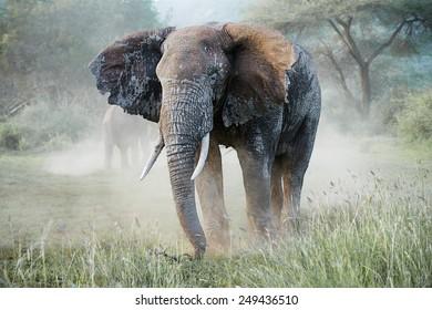 Amazing big african elephants