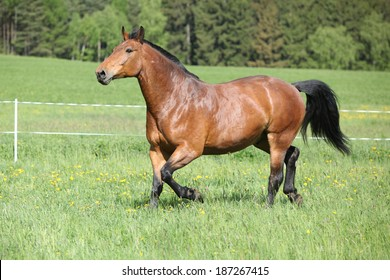 Amazing and big brown horse running on spring pasturage