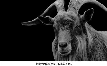 Amazing Big Hair Billy Goat