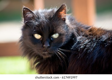 Amazing Black Cat with Green Eyes Staring At Camera