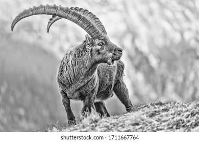 Amazing black and white portrait of Alpine ibex (Capra ibex)