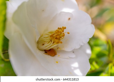 Amazing blossoming of dogrose