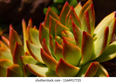Amazing bright close-up of an Echeveria Colorata succulent plant - also known as the Mexican giant.