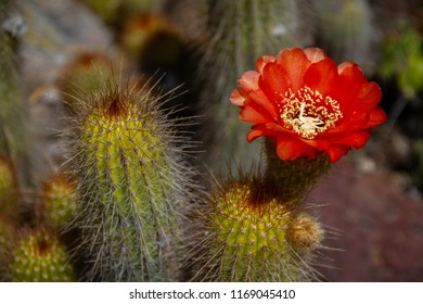 Amazing bright red or orange flowering cactus in a cactus garden.