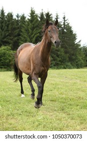 Amazing brown horse running alone in freedom