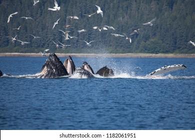 Amazing Bubble Net Feeding Humpback Whales