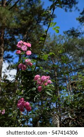 Amazing with bunch of flowers on fence of street in Da lat city, Vietnam, pink rose flower trellis at pine forest make beautiful scene at tourism city of Viet Nam